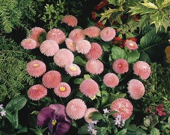 English Daisy 4in Potted Plant Daisy Asteraceae Organic Plants GMO Free Heirloom bellis perennis