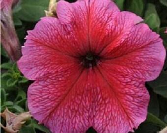Petunia Seeds Prism Strawberry Sundae 50 Pelleted Seeds