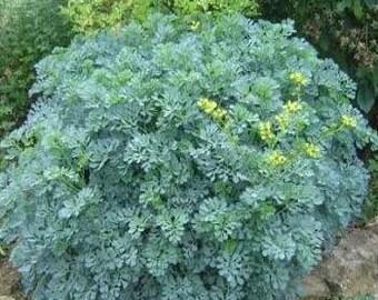 50 semi di santoreggia, Satureja hortensis santoreggia comune, giardini salati, gustato, poivrette pepe asino, St Julien erba
