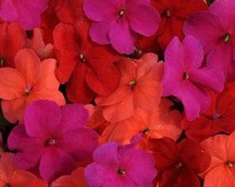 50 Seeds Impatiens Seeds Impreza Wedgewood  Mix Flower Seeds
