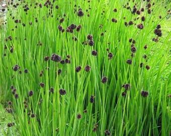 Dichondra Seeds Emerald Falls Multi Pelleted Seeds 25 thru 100 Pelleted Seeds