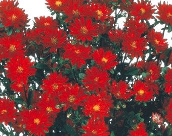 Aster Seeds 50 Seeds Aster Serenade Red Cut Flower Seeds
