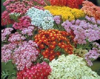 Achillea Seeds Yarrow Summer Pastels 100 thru 500 Seeds (PERENNIAL)