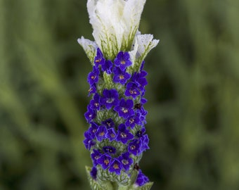 Lavandula Seeds Castilliano 2.0 White Seeds Lavender Seeds 25 Seed Pack Spanish Lavender