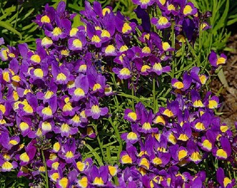 50 Pelleted Linaria Fantasy Blue Seeds Toad Flax