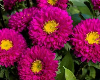 Aster Seeds Aster Matsumoto Rose 50 Aster Seeds Flower Seeds