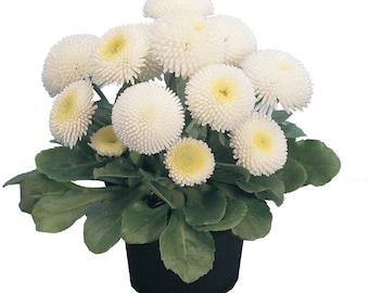 Bellis Seeds Bellis Tasso White 25 Seeds English Daisy Flower Seeds Pelleted Seeds
