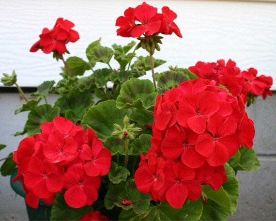 15 Geranium Seeds Cascade Beauty Red Trailing Geranium
