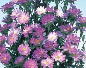 Aster Seeds 50 Seeds Aster Serenade Blue & White Cut Flower Seeds