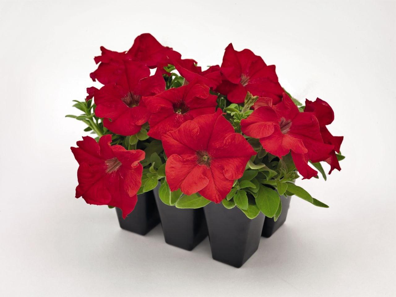 Petunia Success HD Red 50 Pelleted Petunia Seeds