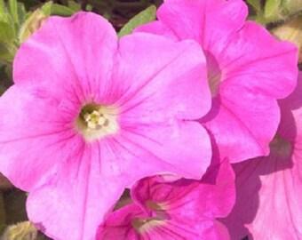 25 Pelleted Seeds Easy Wave Pink Pelleted Petunia Seeds
