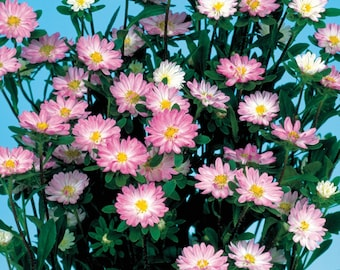 Aster Seeds 50 Seeds Aster Serenade Rose & White Cut Flower Seeds