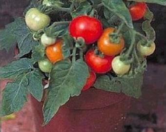 25 Micro Tom Tomato Seeds Worlds Smallest Tomato Plant