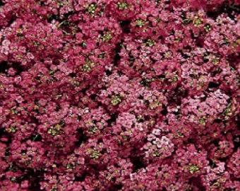 Alyssum Seeds Wonderland Deep Rose Ground Cover 2,000 Seeds