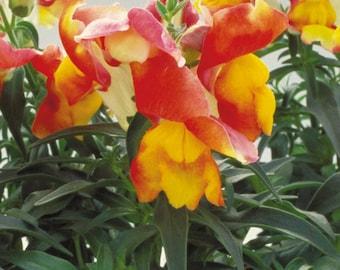 Snapdragon Seeds Floral Showers Apricot Bicolor 250 Seeds