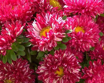 Aster Seeds Aster Matsumoto Red Stripped 50 Aster Seeds Flower Seeds