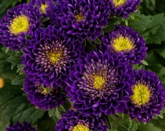 Aster Seeds Aster Matsumoto Blue 50 Aster Seeds Flower Seeds