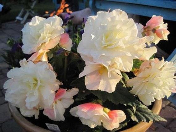 15 Begonia Seeds Appleblossom Nonstop Pelleted Seeds