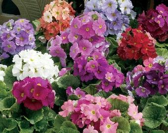 Primula Seeds 50 Primrose Seeds Primula Libre Mix
