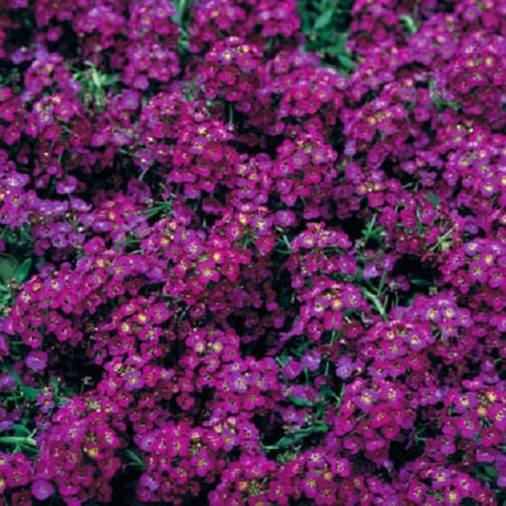 100 Alyssum Seeds Cheers Pink Ground Cover