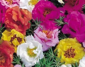 Portulaca Seeds Portulaca Double Mix 500 thru 2,000 Seeds Perennial