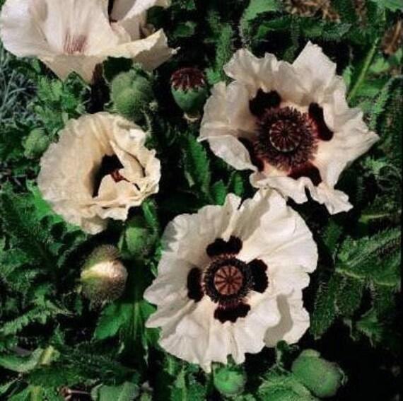 1000 Bulk Poppy Seeds Papaver Checkers Bulk Poppy Seeds Etsy