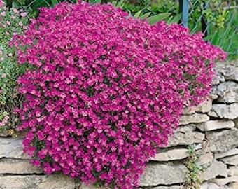 Rock Cress Seeds Cascading Red Aubrieta Seeds 100 thru 1,000 Seeds (PERENNIAL)