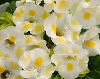 50 Pelleted Torenia Seeds Kauai Lemon Drop Pelleted Seeds