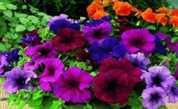 200 Pelleted Petunia Seeds Celebrity Watercolors Seeds Mix BULK PETUNIA SEEDS