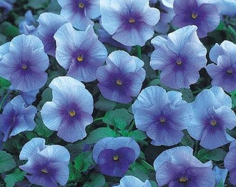 Pansy Seeds Nature Frosty Blue 25 Pansy Seeds