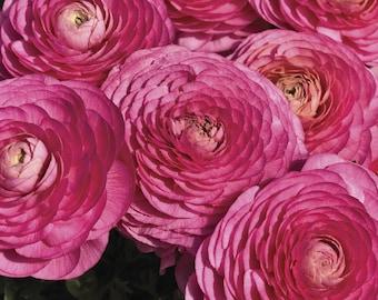 Ranunculus Seeds Magic Rose 25 Seeds Flower Seeds
