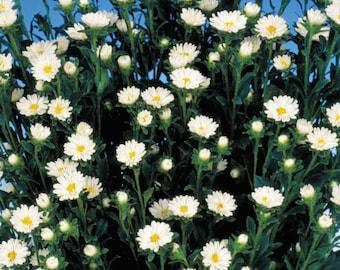 Aster Seeds 50 Seeds Aster Serenade White Cut Flower Seeds