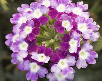 Verbena Seeds Obsession Twister Violet 50 Verbena Seeds