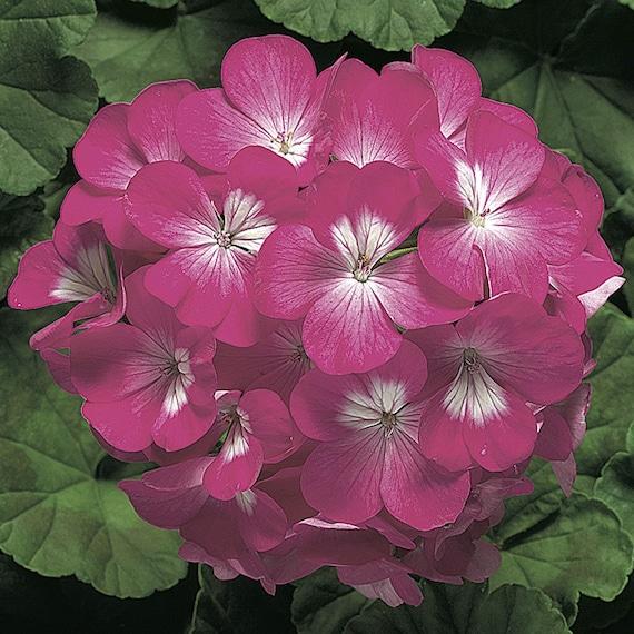15 Geranium Seeds Pinto Blush