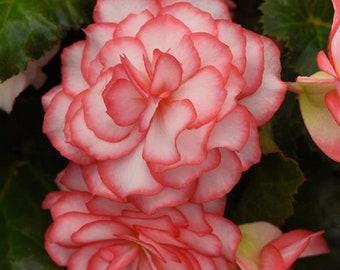 Begonia Seeds Begonia On Top Pink Halo 15 thru 50 Pelleted Seeds