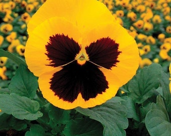 Pansy Seeds 50 Pansy Delta Gold With Blotch