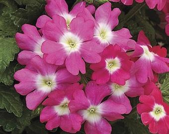 Verbena Seeds Tuscany Rose With Eye Verbena 25 Seeds