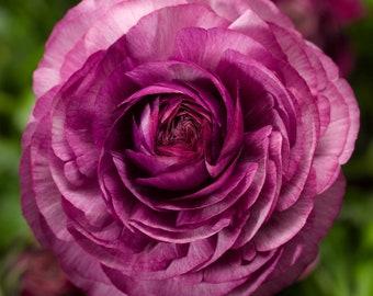 Ranunculus Seeds Magic Purple 25 Seeds Flower Seeds