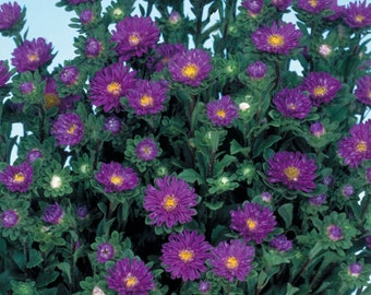 Aster Seeds 50 Seeds Aster Serenade Blue Cut Flower Seeds