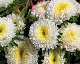 Aster Seeds Aster Matsumoto White 50 Aster Seeds Flower Seeds