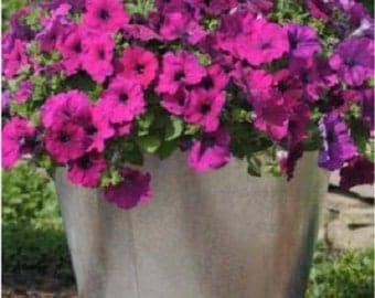 25 Pelleted Petunia Seeds Success Violet Petunia