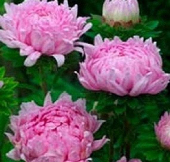 pivoine 50 aster graines duchesse corail rose fleur graines. Black Bedroom Furniture Sets. Home Design Ideas