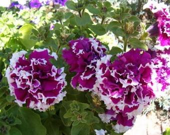 50 Seeds Pelleted Purple Piroutte Petunia Seeds Purple Pirouette Petunia