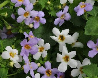 25 Fusables Bacopa Utopia Seeds Fusable Pellets