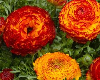 Ranunculus Seeds 25 multi Pelleted Seeds Ranunculus Bloomingdale Fire Bright Orange