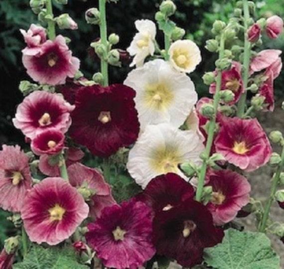 Hollyhock Seeds Chater Maroon Holly Hock Seeds 100 BULK SEEDS Perennial