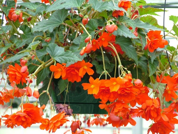 Begonia Seeds Nonstop Mix Pelleted Seeds 50 BULK SEEDS