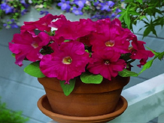 Petunia Seeds Candypops Red Picotee 50 Pelleted Petunia Seeds