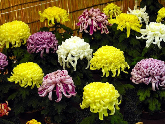 The Ultimate Guide To Planting Chrysanthemum Seeds