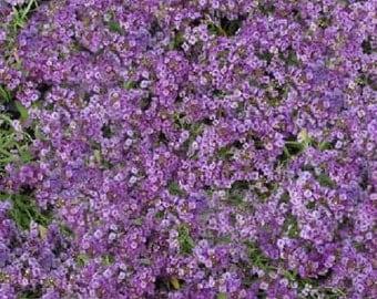 100 Seeds Alyssum Cheers Lavender GROUND COVER